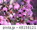 ジャノメエリカ 花 植物の写真 48158121