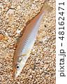 魚 魚類 釣りの写真 48162471