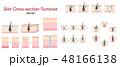 皮膚と毛の断面図 構造 ターンオーバーと毛周期のベクターセット 48166138