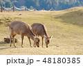 鹿 若草山 山頂の写真 48180385