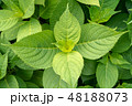 紫陽花の葉 48188073