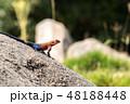 タンザニア サファリ セレンゲティ国立公園 アガマトカゲ 48188448