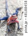 タンザニア サファリ セレンゲティ国立公園 アガマトカゲ 48188458