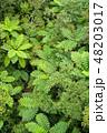 シダ植物 シダ ヒカゲヘゴの写真 48203017