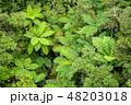シダ植物 シダ ヒカゲヘゴの写真 48203018