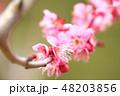 梅 ピンク 花の写真 48203856
