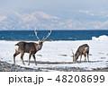 エゾシカ 冬 シカの写真 48208699
