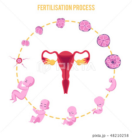 Infographic of pregnancy stages with process of fertilization and development of embryo in flat 48210258