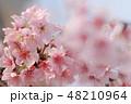 ソメイヨシノ 48210964