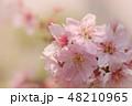 ソメイヨシノ 48210965