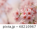 ソメイヨシノ 48210967