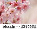 ソメイヨシノ 48210968