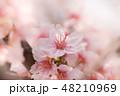 ソメイヨシノ 48210969