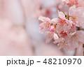 ソメイヨシノ 48210970