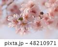ソメイヨシノ 48210971