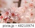 ソメイヨシノ 48210974