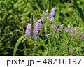 花虎の尾 ピンク 花の写真 48216197
