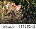 タンザニア サファリ セレンゲティ国立公園 ハイエナ 48216248