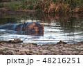 タンザニア サファリ セレンゲティ国立公園 カバ 48216251