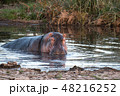 タンザニア サファリ セレンゲティ国立公園 カバ 48216252