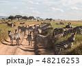 タンザニア サファリ セレンゲティ国立公園 シマウマの群れ 48216253