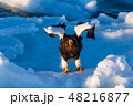 羅臼 流氷 鷲の写真 48216877
