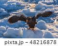 羅臼 流氷 鷲の写真 48216878
