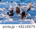 羅臼 流氷 鷲の写真 48216879