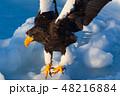 羅臼 流氷 鷲の写真 48216884