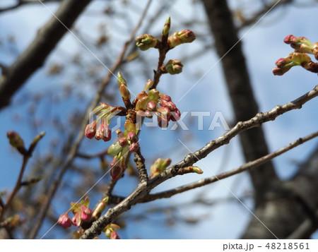 もう直ぐ咲く稲毛海岸駅前の河津桜の蕾 48218561