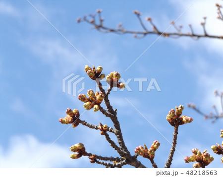 もう直ぐ咲く稲毛海岸駅前の河津桜の蕾 48218563
