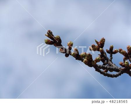もう直ぐ咲く稲毛海岸駅前の河津桜の蕾 48218565