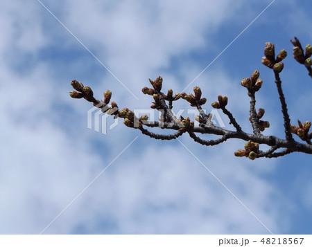 もう直ぐ咲く稲毛海岸駅前の河津桜の蕾 48218567