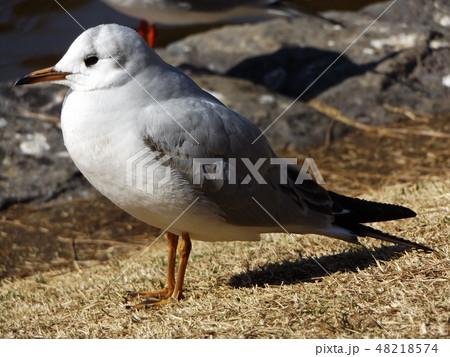 稲毛海浜公園に飛来した渡り鳥のユリカモメ 48218574