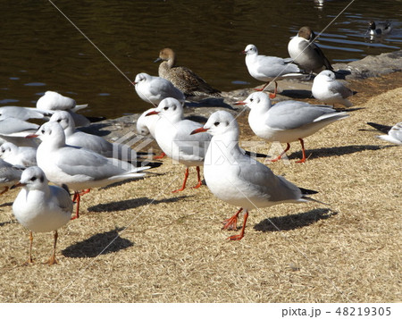 稲毛海浜公園に飛来した渡り鳥のユリカモメ 48219305