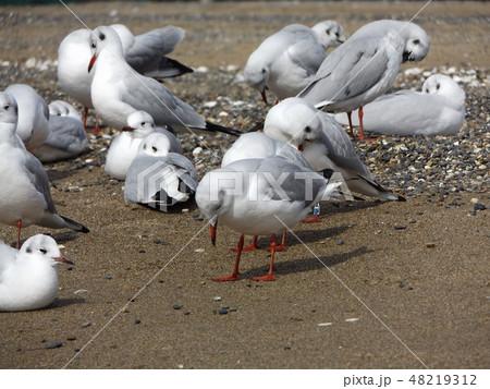 稲毛海岸の砂浜で一休みの渡り鳥ユリカモメ 48219312