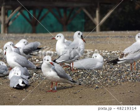 稲毛海岸の砂浜で一休みの渡り鳥ユリカモメ 48219314