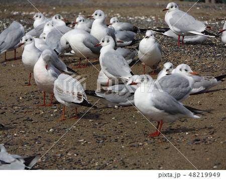 稲毛海岸の砂浜で一休みの渡り鳥ユリカモメ 48219949