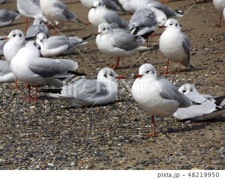 稲毛海岸の砂浜で一休みの渡り鳥ユリカモメ 48219950