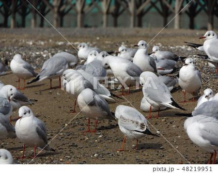 稲毛海岸の砂浜で一休みの渡り鳥ユリカモメ 48219951