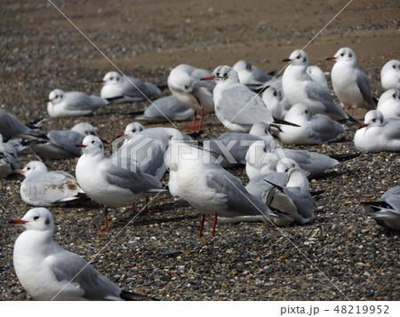 稲毛海岸の砂浜で一休みの渡り鳥ユリカモメ 48219952