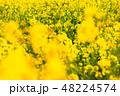 菜の花 春 菜花の写真 48224574