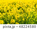 菜の花 春 菜花の写真 48224580
