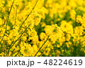 菜の花 春 菜花の写真 48224619