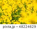 菜の花 春 菜花の写真 48224629