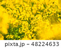 菜の花 春 菜花の写真 48224633