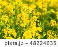 菜の花 春 菜花の写真 48224635