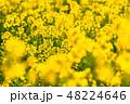菜の花 春 菜花の写真 48224646
