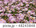 マーガレット 花 植物の写真 48243848