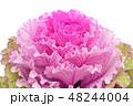 葉牡丹 アブラナ科 葉の写真 48244004